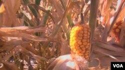 En uno de los veranos más secos en Texas, los costos en pérdidas de los agricultores ascienden a $5.000 dólares.