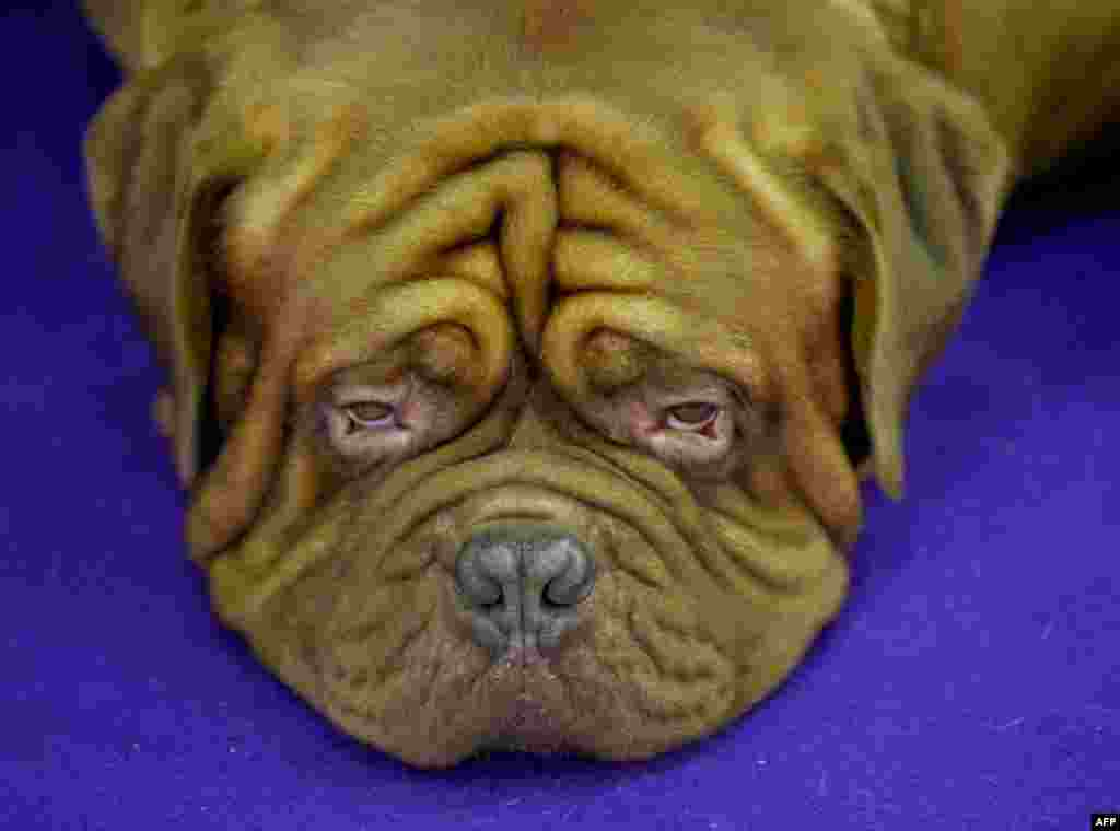 A Dogue de Bordeaux rests in the competition area in New York during Day 2 of competition at the Westminster Kennel Club 140th Annual Dog Show.
