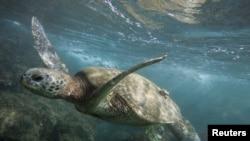 帕帕哈諾莫庫阿克阿海洋生命保護地內的海龜