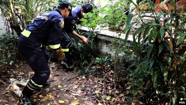 A 3-meter long Python being captured from the small garden of a resident's compound in Bang Ken district, Bangkok, Feb. 28, 2016. (Z. Aung/VOA)