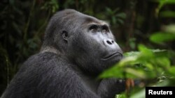 FILE - A Grauer's gorilla, or eastern lowland gorilla, is seen in the Kahuzi-Biega National Park in South Kivu, eastern Democratic Republic of Congo.