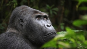 FILE - A Lowland Gorilla is seen in the Kahuzi-Biega National Park in South Kivu, eastern Democratic Republic of Congo.