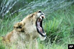 Some South African game park owners are restocking part of the Eastern Cape region with species, such as lion, that last roamed the area more than a century ago