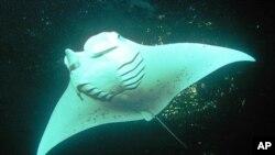 A female manta ray swims off shore Keauhou Bay, Hawaii (file photo).