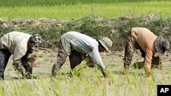 Cambodian farmers work on the rice field in Kampong Speu province, west of Phnom Penh. One of the recommendations proposed by the civil society groups is better agricultural markets. (File)