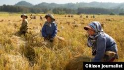 Ủy ban Tiêu chuẩn Thực phẩm sẽ phát hành các quy tắc thực hành để giúp nông dân đáp ứng những tiêu chuẩn mới được khuyến nghị đối với gạo