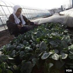 Chiyoko Kaizuka, petani berusia 83 tahun, sedang memeriksa tanaman bayam di tanah pertaniannya.