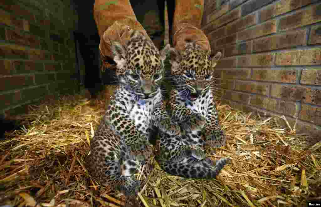 Two unnamed female Sri Lankan baby leopards (Panthera pardus kotiya) are seen in a zoo in Maubeuge, France.