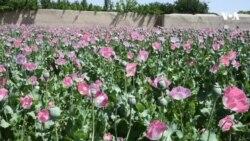 په افغانستان کې تېر کال ۶۳۰۰ ټنه اپین تولید شوي