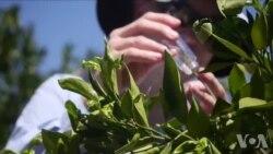 加州柑橘业以虫剋虫应付黄龙病