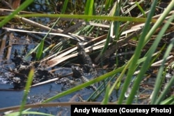 A pod of baby alligators in the sawgrass.