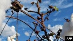Përplasje SHBA-Brazil për subvencionet në mbështetje të fermerëve