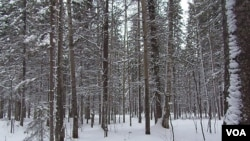许多朝鲜劳工在俄罗斯从事伐木工作。俄罗斯西伯利亚北部的一处森林。(美国之音白桦)