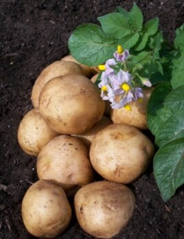 Potato tubers and flowers.