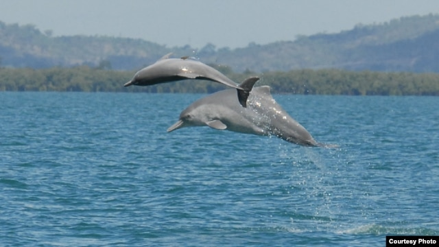 Two individual animals from an as-of-yet unnamed species of humpback dolphin are shown in the waters off northern Australia. (Guido Parra)
