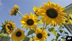 Bunga-bunga matahari yang bermekaran menarik lebah untuk mendatangi taman-taman yang kemudian bisa menyerbuki tanaman sayur (foto: dok).