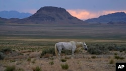 A free-ranging wild horse known as the Old Man is shown on July 14, 2021, as the sun sets near U.S. Army Dugway Proving Ground, Utah. He was left behind in a July roundup that removed about 300 other horses from the range. (AP Photo/Rick Bowmer)