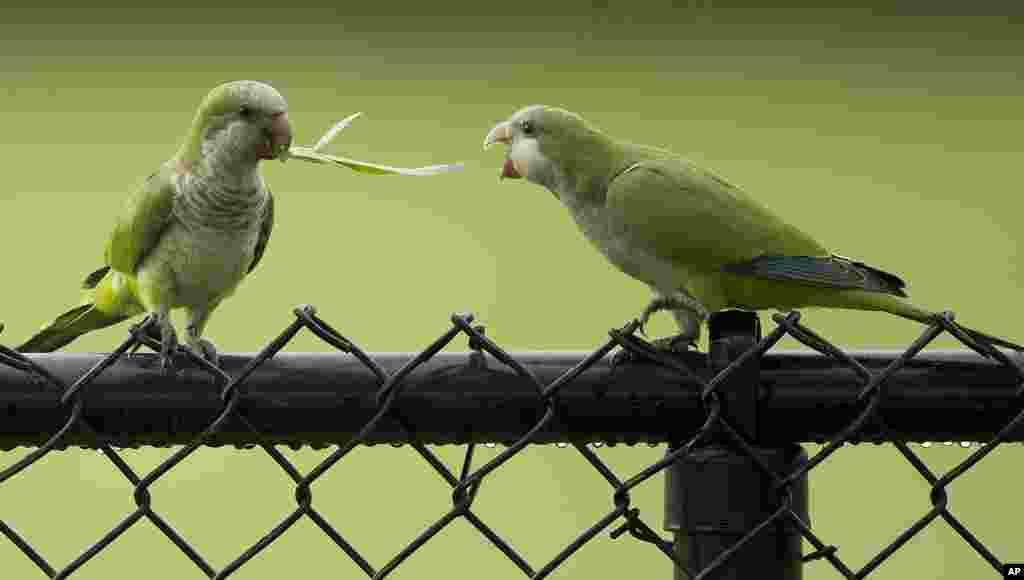 Hai con vẹt thầy tu hoang giành một ngọn cỏ sau một cơn bão ở thành phố Cooper, bang Florida, Mỹ, ngày 15 tháng 7, 2014.