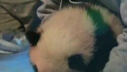 华盛顿熊猫宝宝将首次与公众见面
