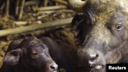 FILE - A Cape Buffalo rests with her newborn calf born at a zoo in Pretoria, South Africa, Jan. 1, 2000.