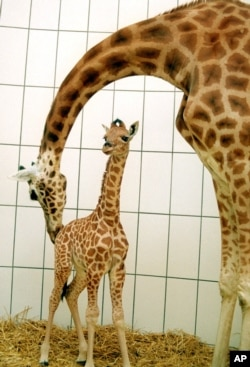 FILE - Barbie, a 10-day-old Nubian Giraffe, left, gets a playful nudge from her mother, Maji, at the Egyptian Temple in the Antwerp Zoo, April 11, 2000.