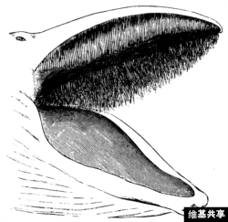 Whalebone in a whale's mouth