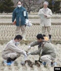Para peneliti di Jepang memeriksa kandungan tanah persawahan pasca bencana tsunami. Menjadi tantangan bagi ilmuwan untuk menghasilkan varietas yang cocok dengan kondisi tanah setelah terkontaminasi air laut (foto: dok).