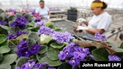FILE - Workers check African violet plants at Hotkamp Greenhouse in Nashville, Tenn. on July 18,2007. (AP Photo/John Russell)