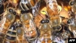 Amerika'da Bal Arıları Hızla Tükeniyor