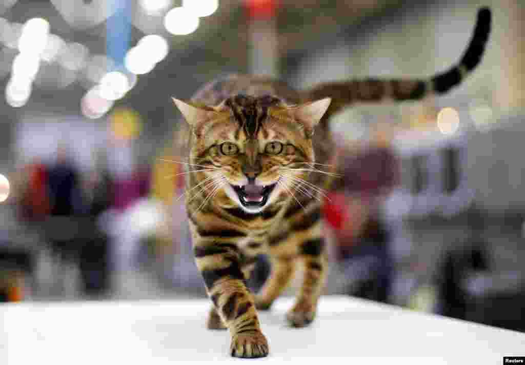 Seekor kucing Benggala menjadi pemenang pameran kucing di Roma, Italia.