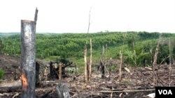 Penebangan hutan di semenanjung Kampar, propinsi Riau. (Foto: Dok)