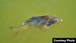 亚洲鲤鱼入侵,美国如临大敌。