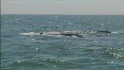 Great Whales Rebound as Marine Engineers