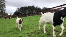 Необичен тренд кај американските компании: За 100 долари на состанокот се приклучува и коза