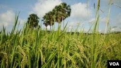 چاول کے کھیت کا ایک منظر، فائل فوٹو