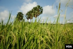 A rice field in Peamro Commune, Prey Veng province, Cambodia, on July 23, 2020. (Aun Chhengpor/VOA Khmer)