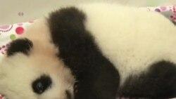 阿特蘭大熊貓雙胞胎命名為美輪、美奐