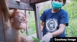 Bayi orangutan bernama Vida yang kehilangan induknya (foto courtesy: OFI).