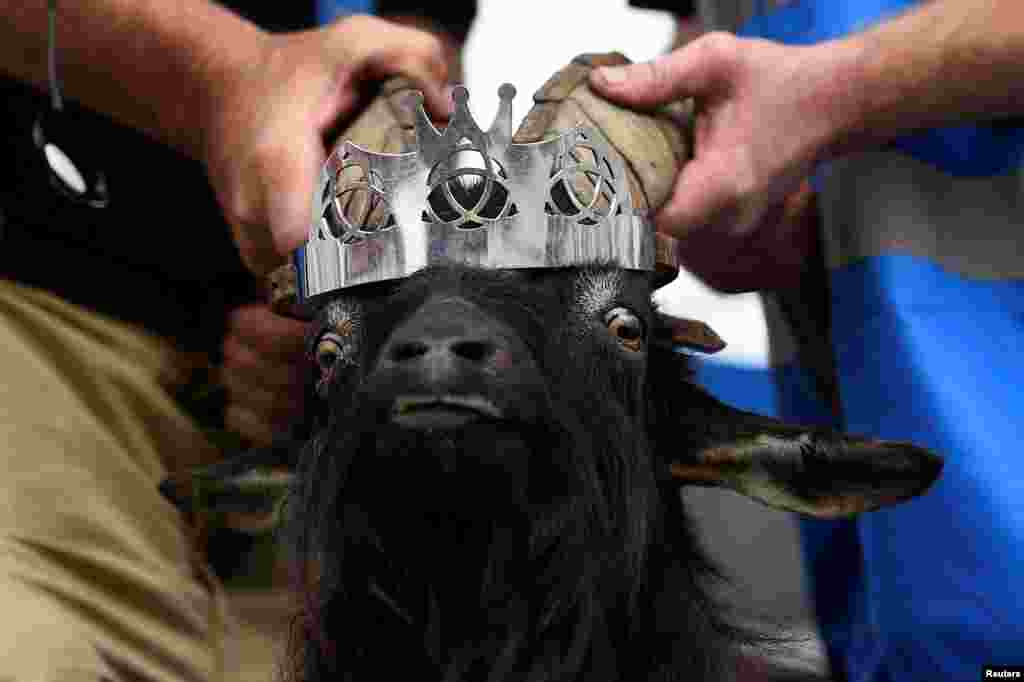 A crown is affixed to a wild goat as it is crowned King Puck and will be held on a platform above the town for three days in Killorglin, Ireland.