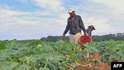 Od približno milion poljoprivrednih radnika u Americi većina su imigranti, a četvrtina do polovine njih su ilegalci