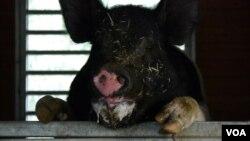 """این گراز نر که نامش """"باس"""" است، حدود سه سال است که در مزرعه این زوج مشاورز در ایالت ماساچوست نکهداری می شود."""