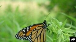 Tajna leptira vrste monarh