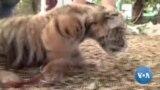 Covid, o tigre-bébé mexicano