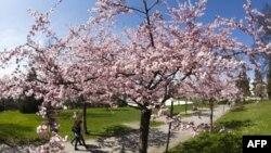 Numër rekord vizitorësh në Festivalin e Lulëzimit të Qershive
