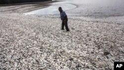 Ngư dân Joaquin Martinez đi trên bãi biển bao phủ bởi cá mòi chết ở Tolten, Temuco, Chile, ngày 15 tháng 5 năm 2016.