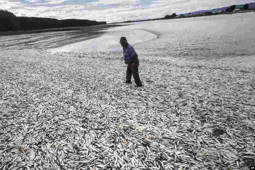 Seorang nelayan berjalan di kawasan pantai yang penuh dengan ikan-ikan sarden yang mati di Tolten, Temuco, Chile.