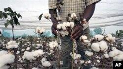 Le coton, principal produit d'exportation du Burkina.