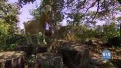Чому в одному із парків Нью-Йорка запанували кози? Відео