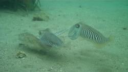 Rare Video Captures Underwater Love Triangle