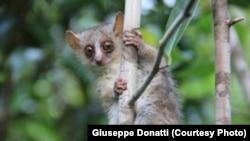 Microcebus ganzhorni, una nueva especie de lemur ratón descubierta por científicos de la Universidad de Kentucky.